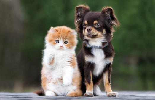 adorable kitten and chihuahua dog together